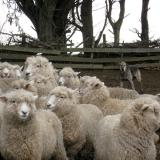 sheeperd-dog
