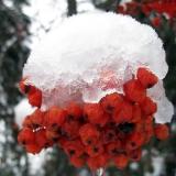 snowfruit