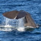 whale-dives