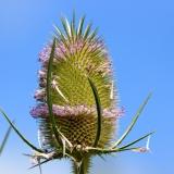 spike-flower