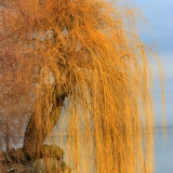 tree-at-bodensee