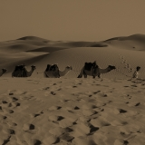 Camels on their way